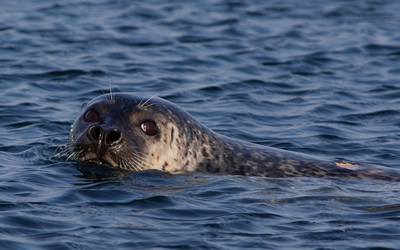 Spotted seals — what an amazing neighbors!